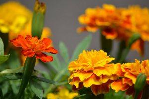 flor de cempasúchil